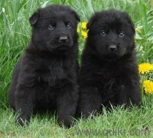 Rare Color Full Black German Shepherd Puppies available for sale in ...