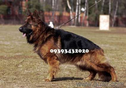 German Shepherd Puppies For Sale # 9393432020 (Free Home Delivery) in