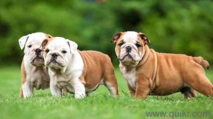 English bulldogs for sale with papers