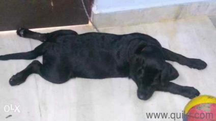 3 months old lab. puppy - Hyderabad