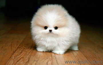 show quality pomerian puppies available pure breed 7799432106 in Attapur, Hyderabad Pets on Hyderabad Quikr Classifieds