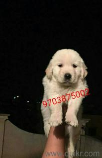 Excellent quality retriever female puppies in Tarnaka, Hyderabad Pets on Hyderabad Quikr Classifieds