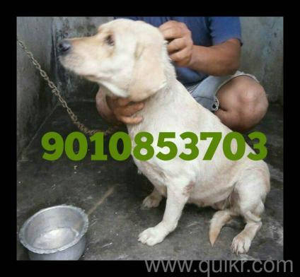 labrador retriever female adult for sale in Lingampally in Ameerpet, Hyderabad Pets on Hyderabad Quikr Classifieds