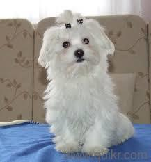 Proper shape proper vaccinated Maltese puppies for sale at sreeganesh farm@08372091696whats app - Hyderabad