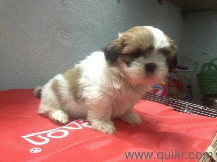 Shitzu male puppy - Hyderabad